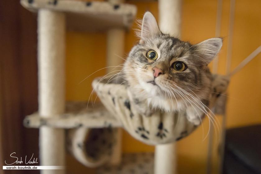 Norwegische Waldkatze TIffany | Katzenfotografie München | Portfolio Katzenfotoshooting