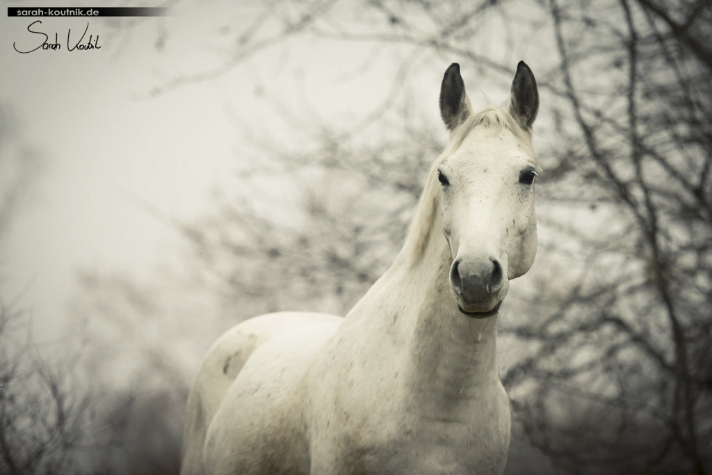 Schimmel Finn im Nebel   Pferdefotografie München   Sarah Koutnik Fotografie