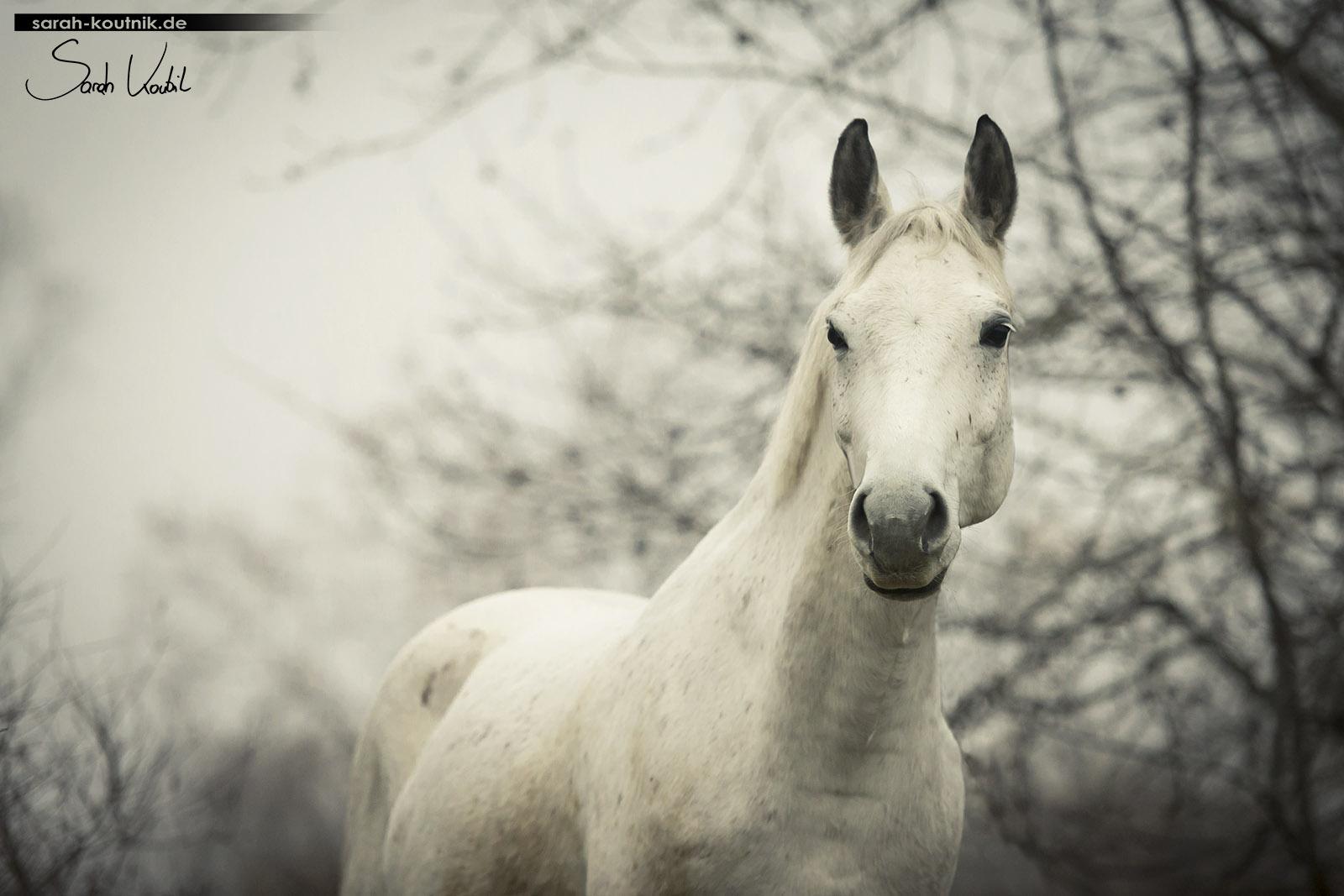 Schimmel Finn im Nebel | Pferdefotografie München | Sarah Koutnik Fotografie