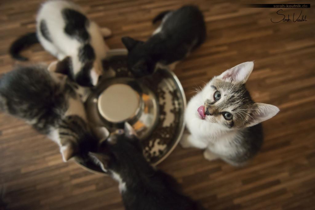 Portfolio Katzen - Kätzchen beim Katzenfotoshooting | Katzenfotografie München | Sarah Koutnik Fotografie