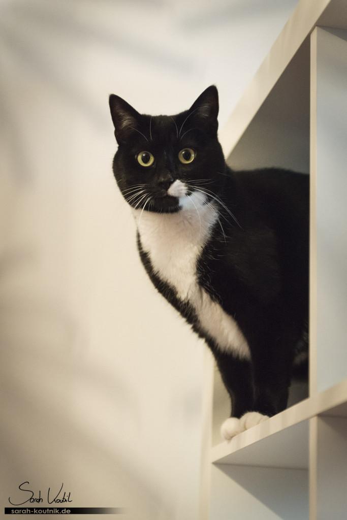 schwarz weiße Hauskatze Lucy auf Bücherregal | Katzenfotografie München