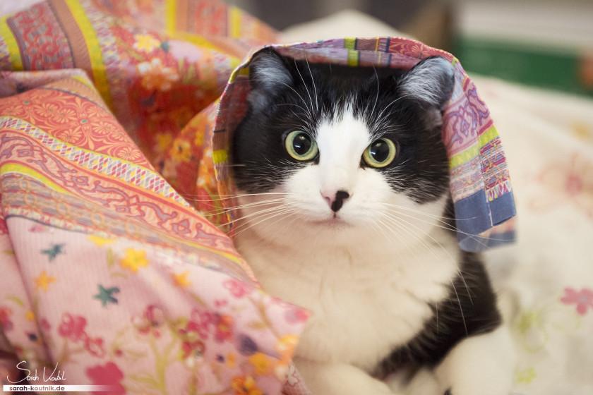 schwarz weiße Hauskatze Bella unter der Decke | Katzenfotografie München