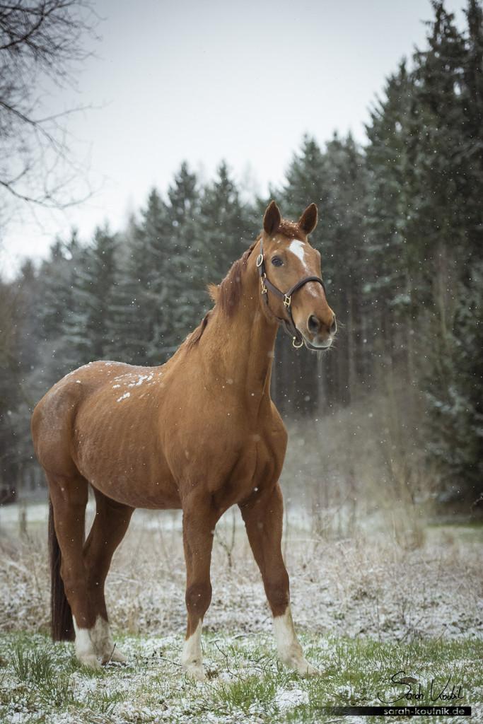 einäugiges Pferd Warmblut Goldstern im Schneegewitter | Pferdefotografie München