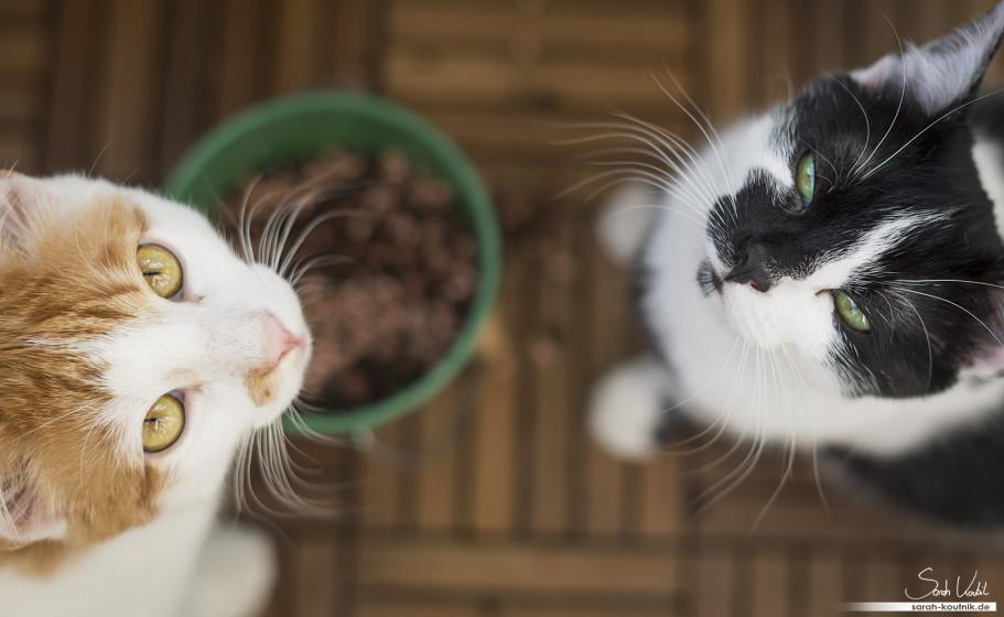 Hauskatzen Kätzchen Mia und Filou | Katzenfotografie München