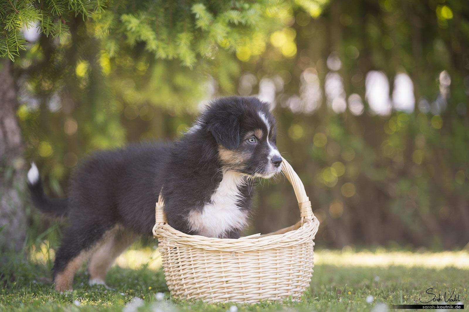 Australian Shepherd Welpe Avanti steht mit den Vorderpfötchen im Weidekorb | Hundefotografie München