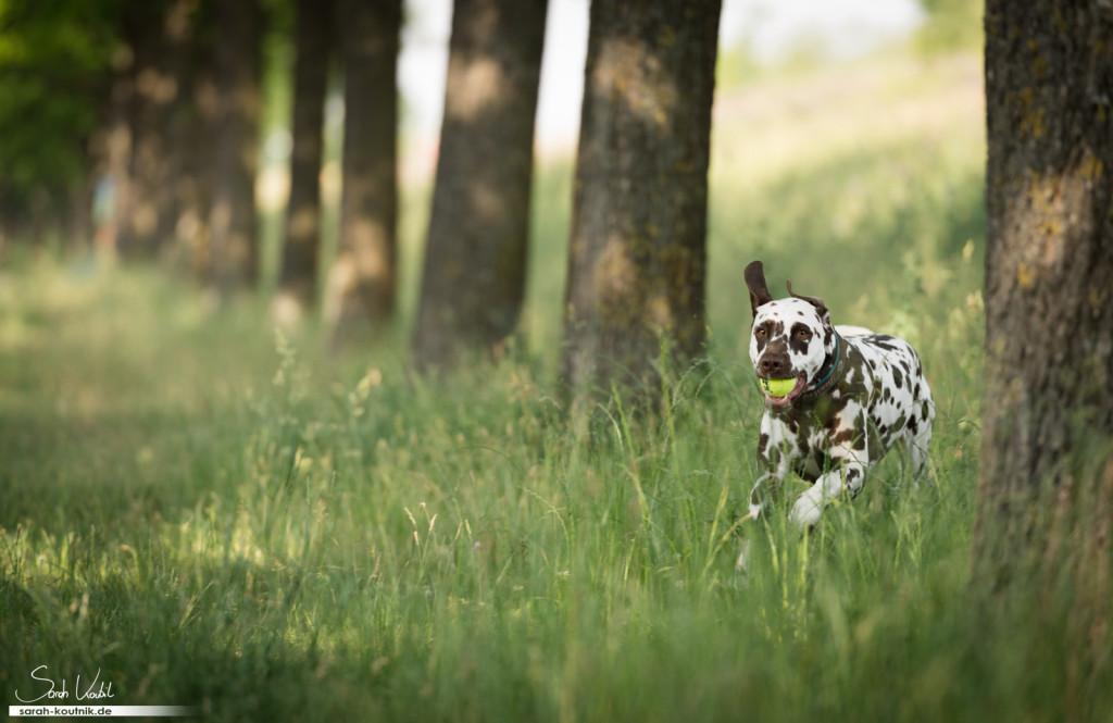 brauner Dalmatiner Bentley läuft mit Tennisball im Maul | Hundefotografie München