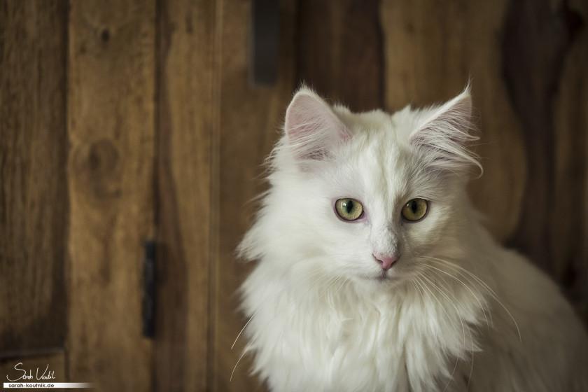 Weißer Norwegischer Waldkater Henry | Portrait vor Holz | Katzenfotografie | München