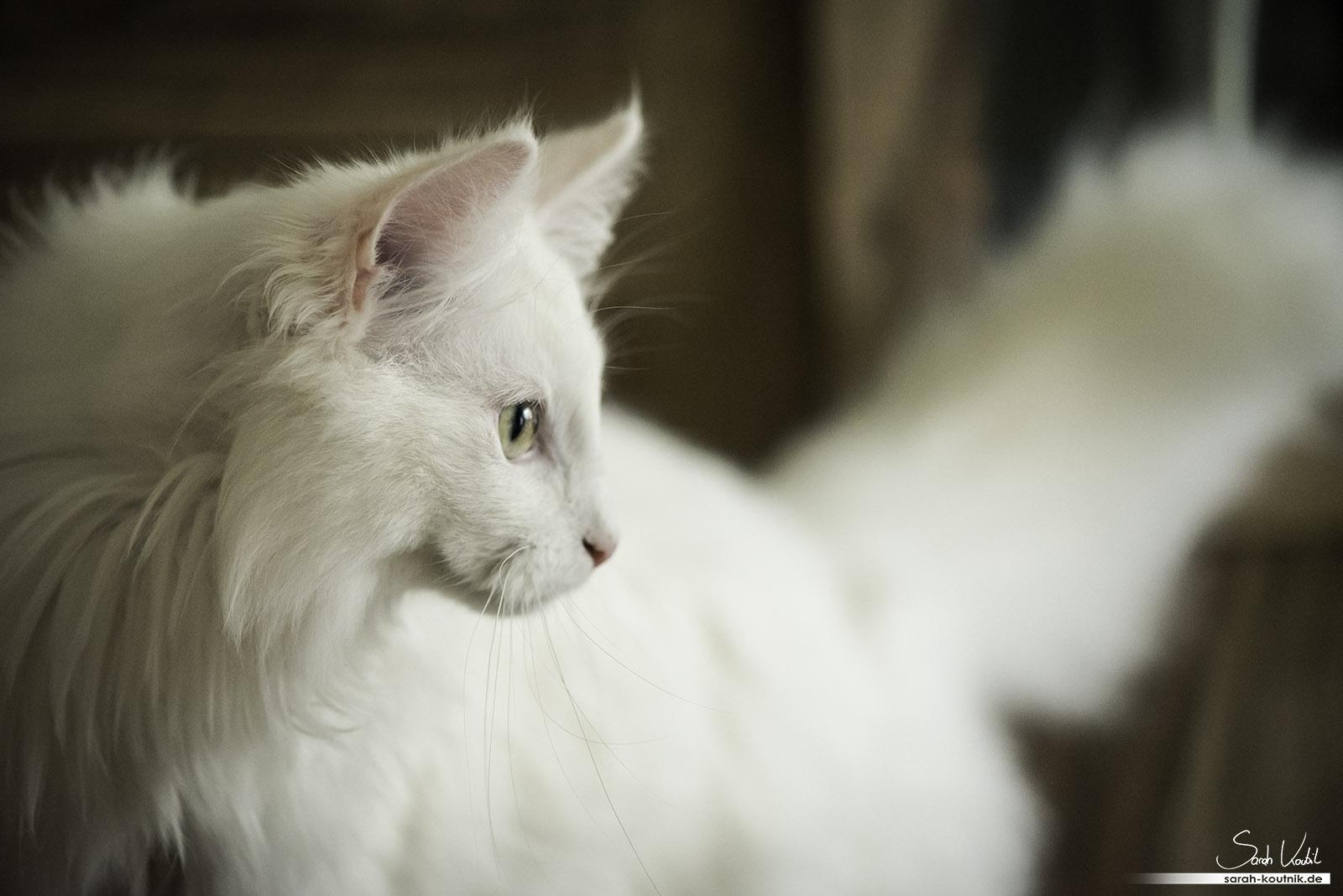 Weißer Norwegischer Waldkater Henry | Katzenfotografie München