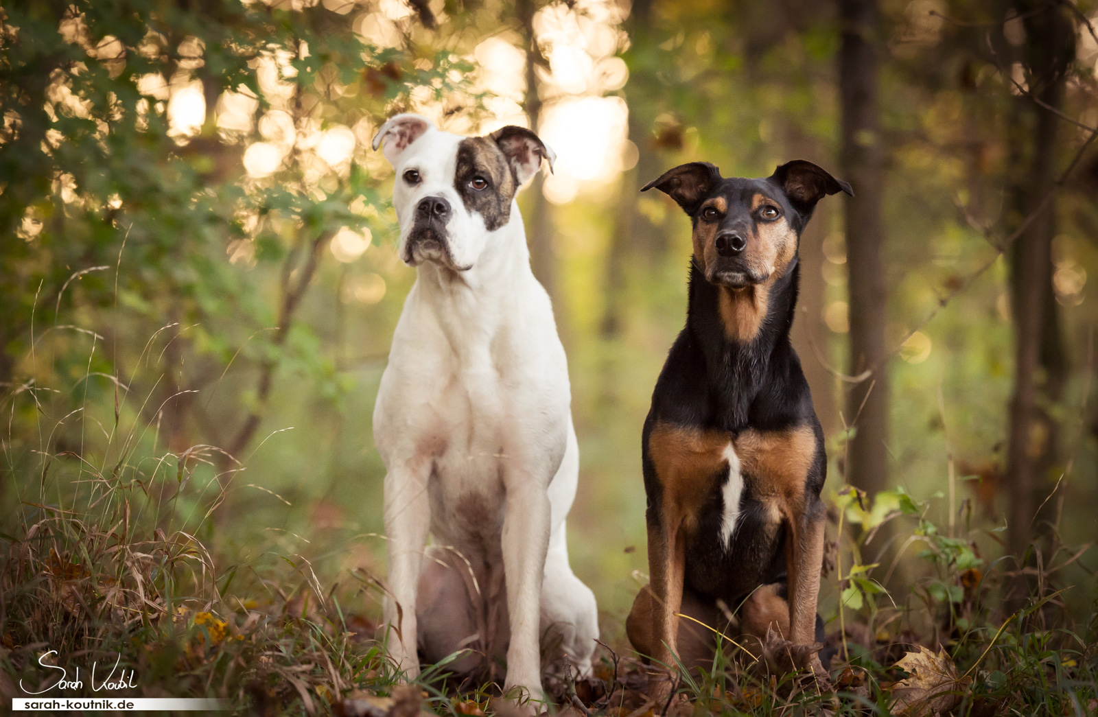 Boxerhündin Sue und Mischling Jesko Morgensonne | Hundefotografie München
