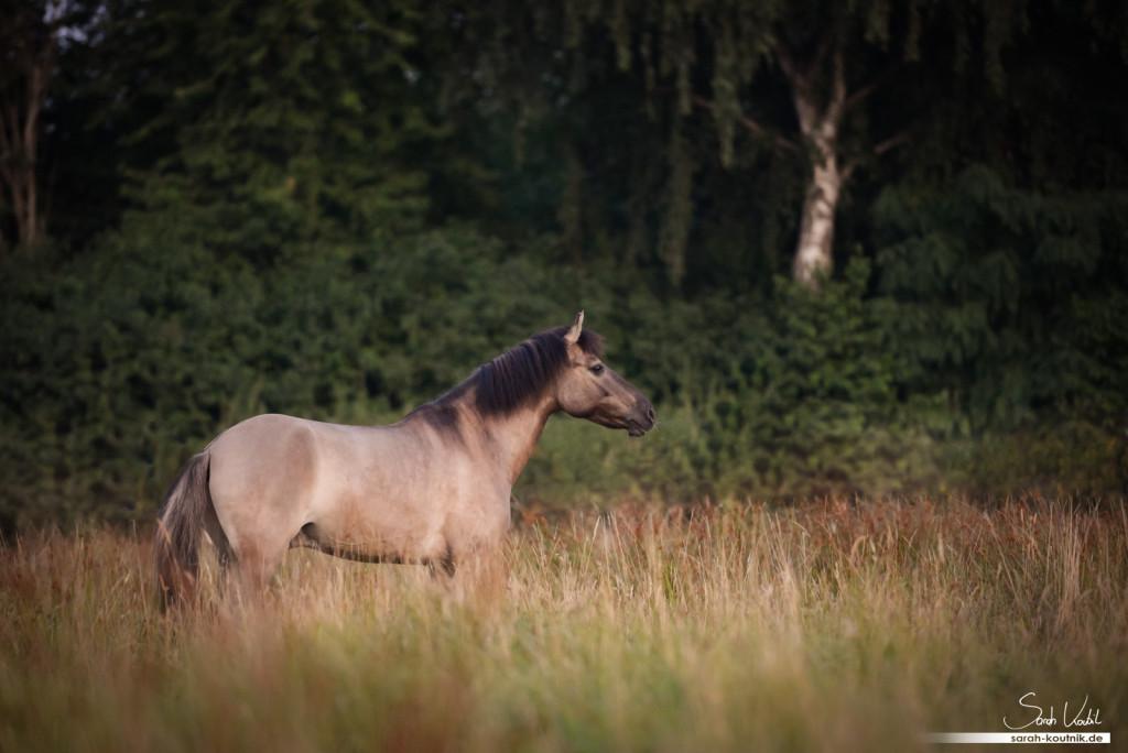 Dülmener Wildpferd Sunny | Pferdefotoshooting bei Sonnenaufgang | Pferdefotografie München