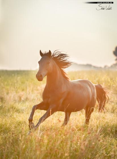 Schwarze Ponystute Viola | Pferdefotoshooting bei Sonnenaufgang | Pferdefotografie München