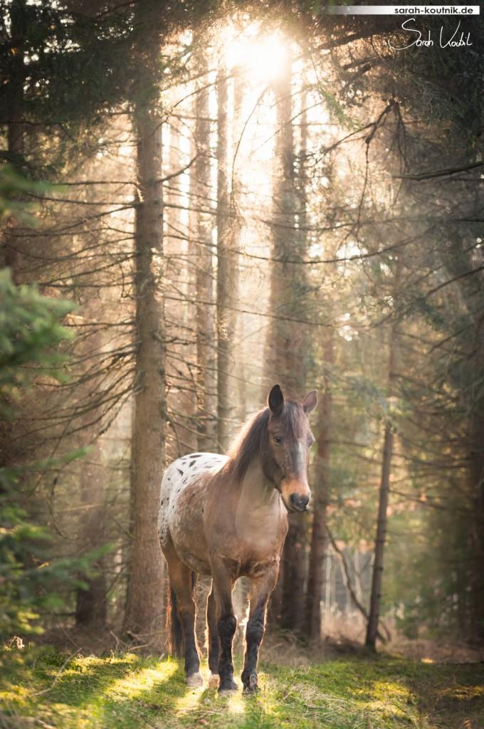 Fotoshooting mit Pferd im Wald bei Sonnenuntergang | Appaloosa Atlas | Pferdefotografie München