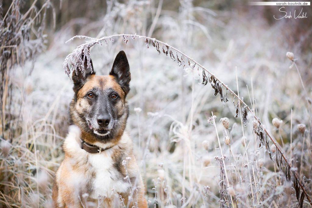 Sarah Koutnik Fotografie | Hundefotografie | Malinois Hexe | Erinnerungen