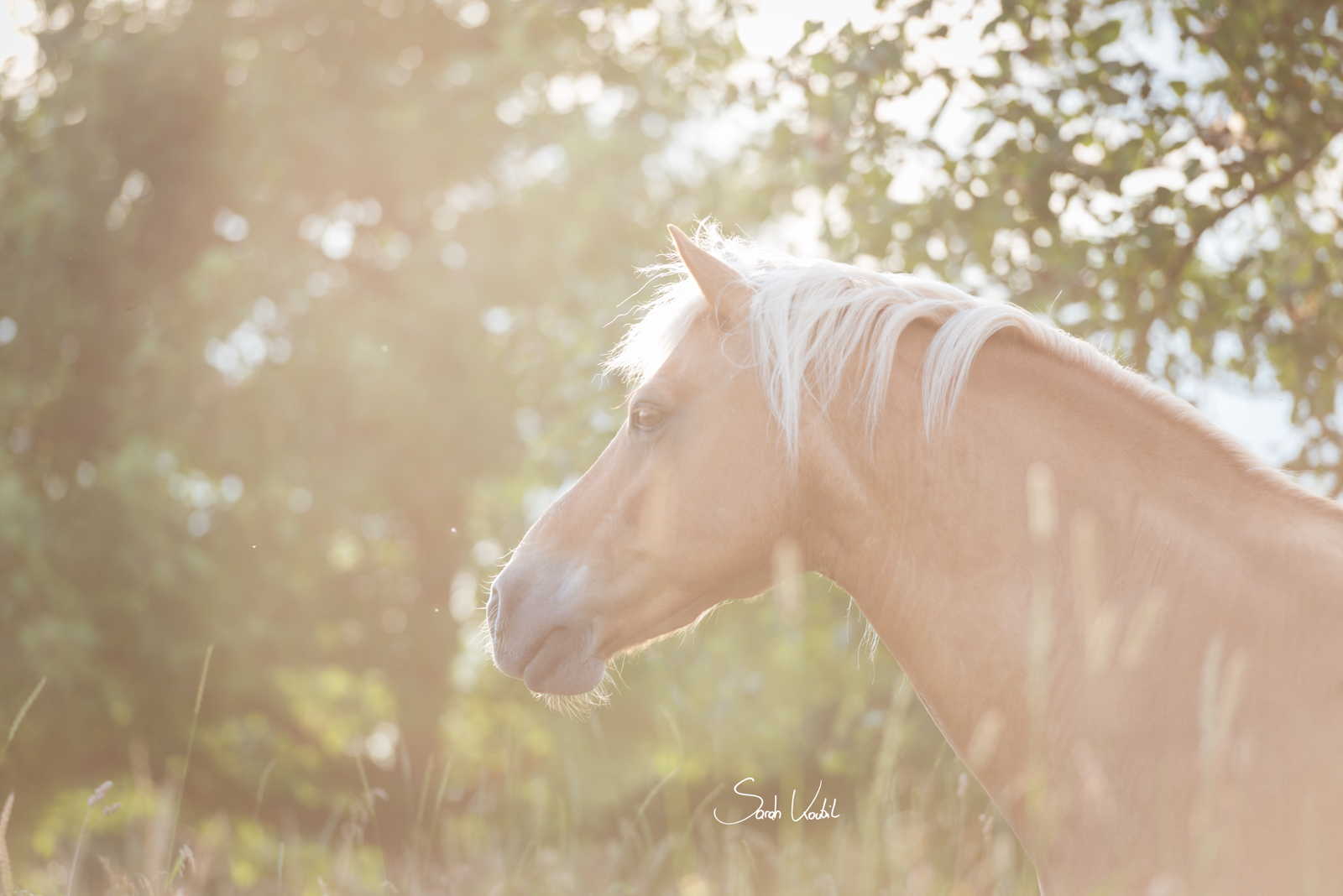 Haflingerwallach Samos | Gegenlicht | Therapiepferd | Pferdefotografie | Sarah Koutnik Fotografie | München