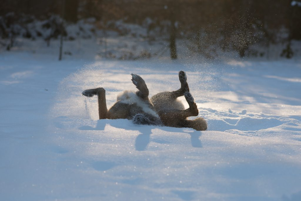 Hilfe, mein Tier benimmt sich nicht | lieber im Schnee wälzen | Hundefotografie | München | Sarah Koutnik Fotografie