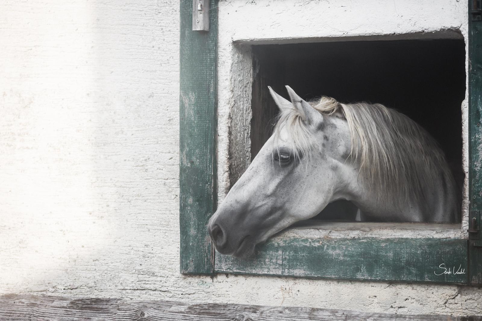 Pferd schaut aus Box | Pferdefotoshooting | Pferdefotografie | Bayern | gratis Fotokurs | einfach bessere Fotos machen | Motive einrahmen