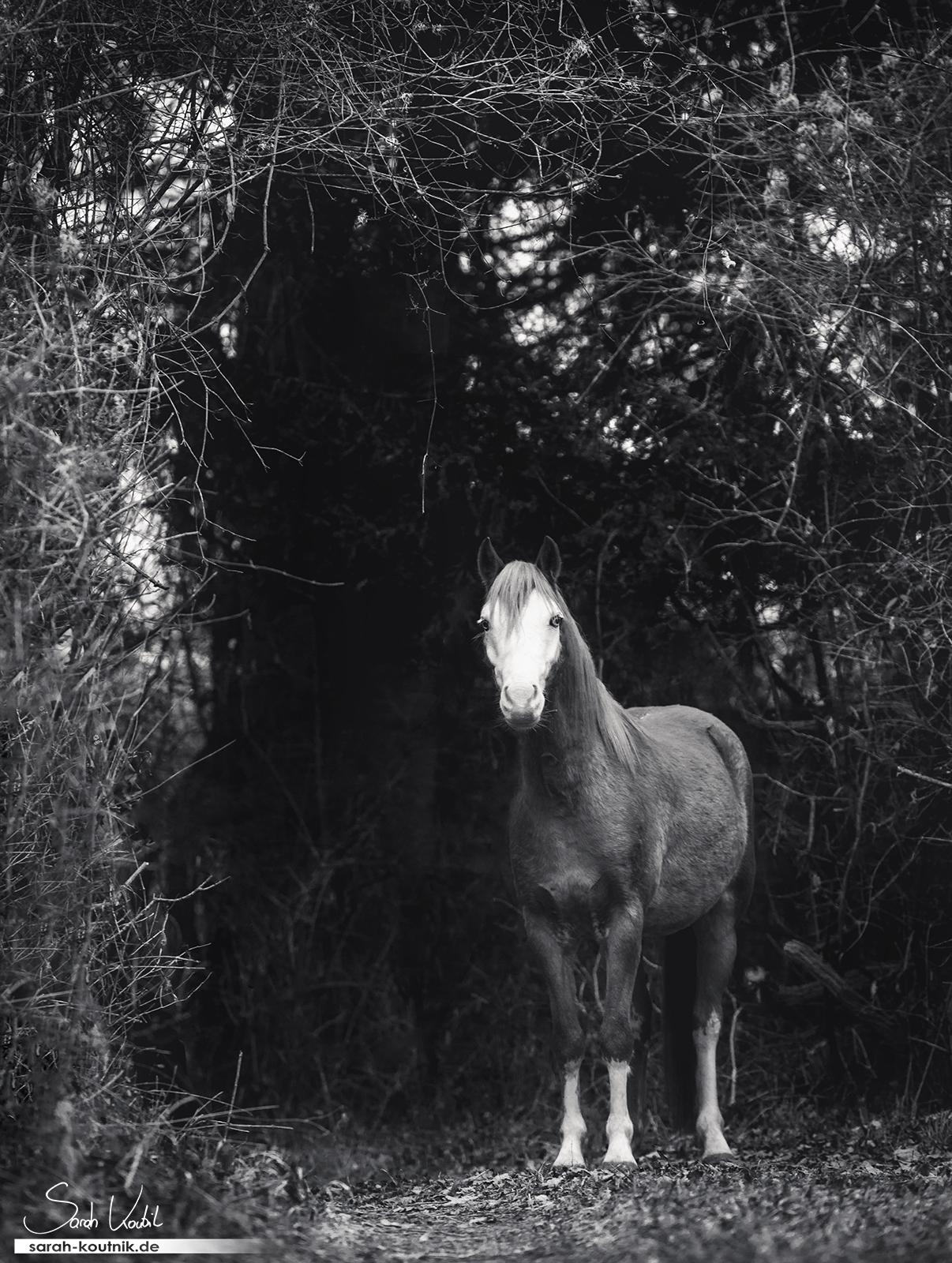 Welsh B Wallach Ghost | gratis Fotokurs Motive einrahmen | einfach bessere Fotos machen | Sarah Koutnik Fotografie | Pferdefotografin Starnberg