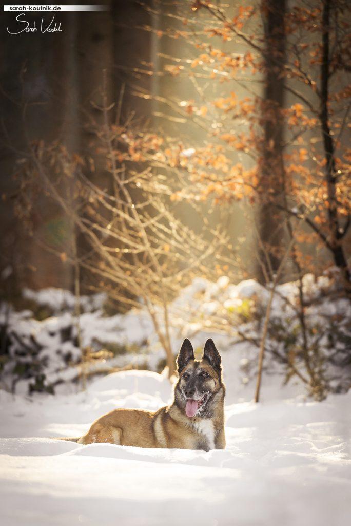 Malinois Hexe im Schnee | gratis Fotokurs | Motive einrahmen | einfach bessere Fotos machen | Sarah Koutnik Fotografie | Hundefotografie Starnberg München