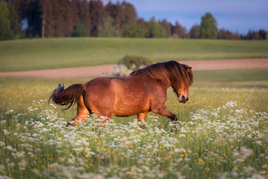 Pferdefotoshooting Sonnenaufgang | Islandpferd | Sarah Koutnik Fotografie | Pferdefotografie München Starnberg |