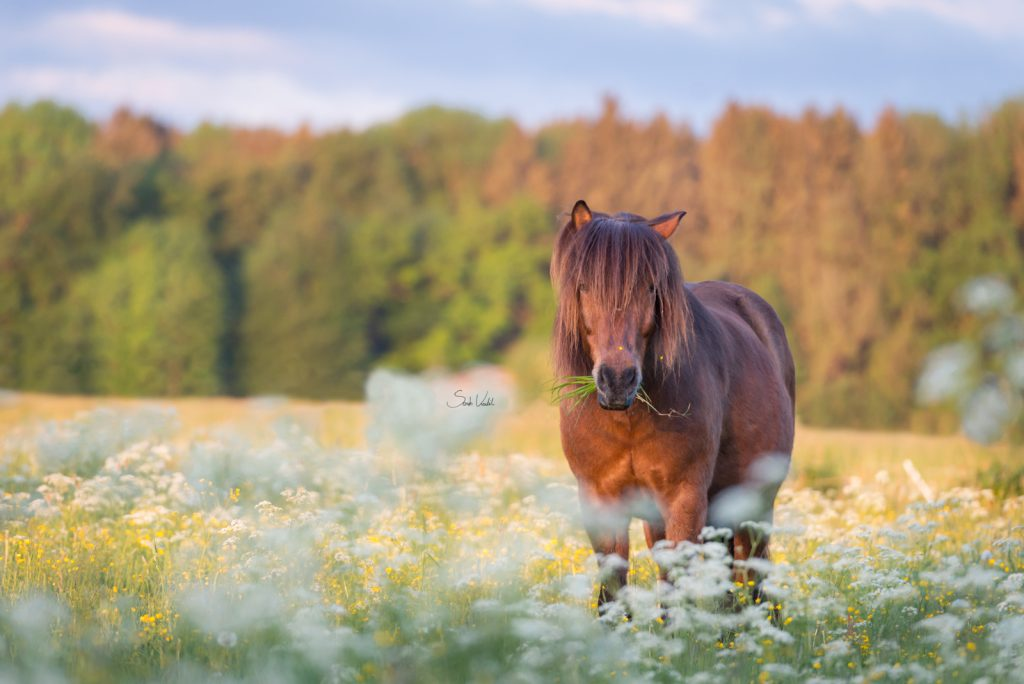 Islaender Odi | gratis Fotokurs | Motive einrahmen | einfach besser Fotografieren | Pferdefotografie Starnberg | Sarah Koutnik Fotografie