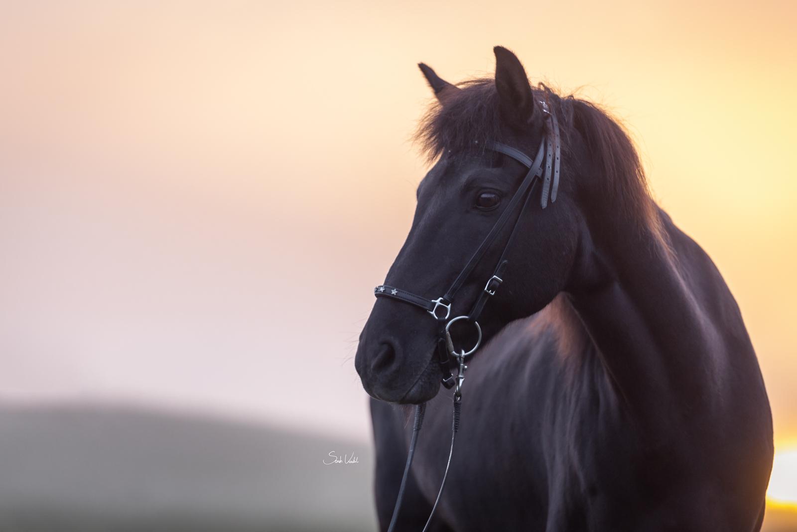 Pferdefotoshooting im Morgenrot bei Nebel und Sonnenaufgang mit schwarzem Isländer Thjotandi | Sarah Koutnik Fotografie | Pferdefotografie München Krailling Starnberg Bayern
