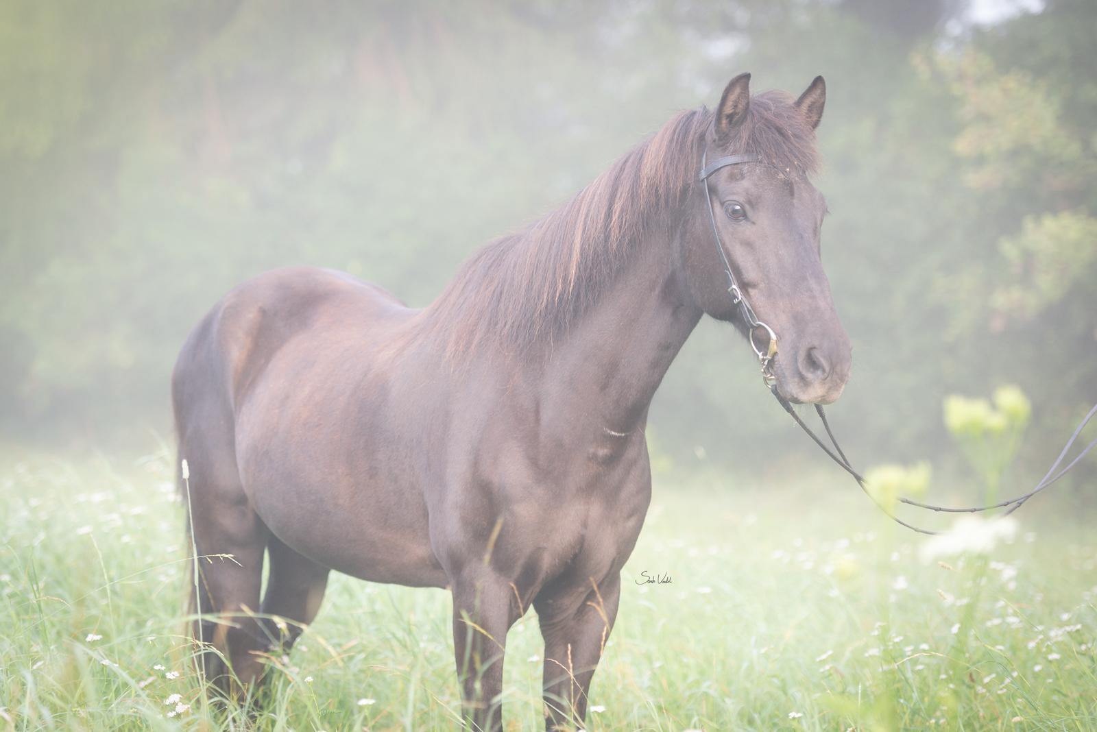 Pferdefotoshooting bei Nebel und Sonnenaufgang mit schwarzem Isländer Thjotandi   Sarah Koutnik Fotografie   Pferdefotografie München Krailling Starnberg Bayern
