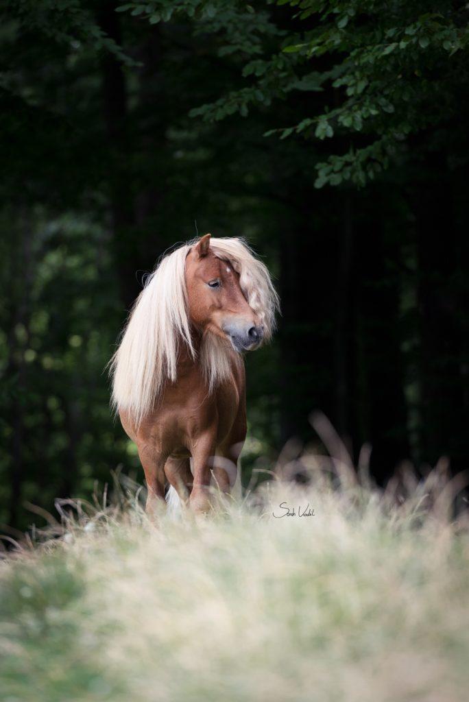 Nur auf den Knopf drücken | Minishetty Inchalla | Sarah Koutnik Fotografie | Pferdefotografie München Krailling Bayern