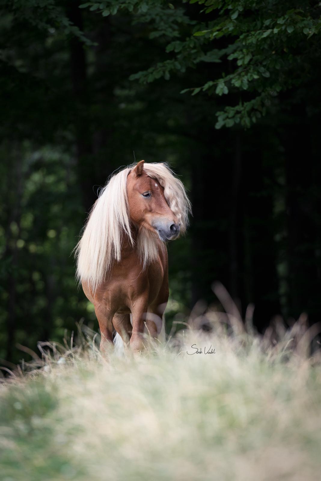Nur auf den Knopf drücken   Minishetty Inchalla   Sarah Koutnik Fotografie   Pferdefotografie München Krailling Bayern