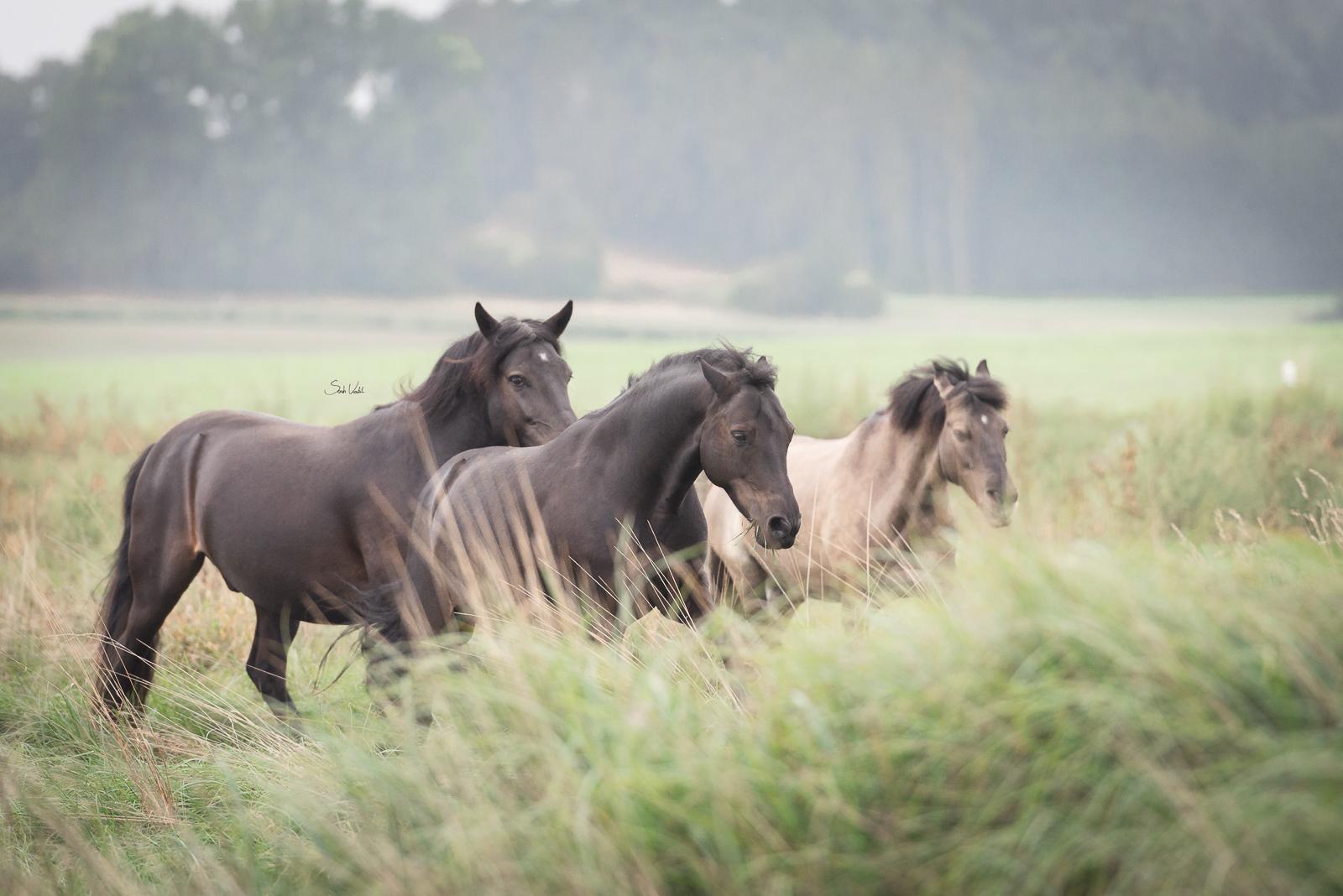 Pferdefotoshooting in Ingolstadt | Dülmener Wildpferde | Deutsches Reitpony | Rappe | Falbe | Sarah Koutnik Fotografie