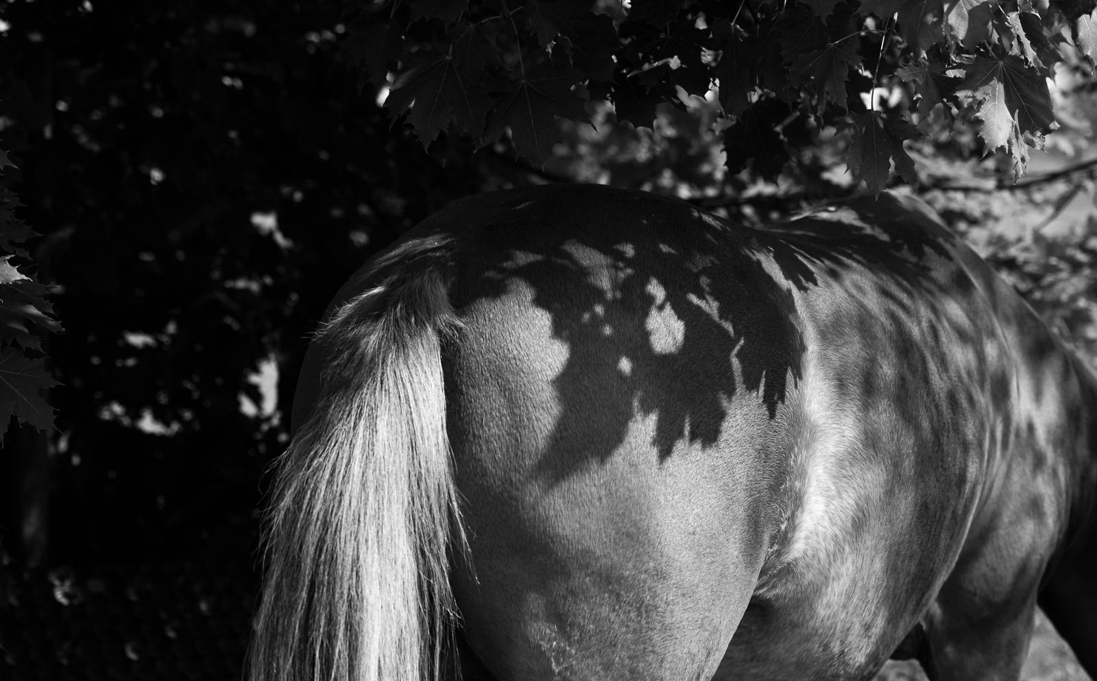 Schwarz weiß Foto | Blattmuster auf Pferdekruppe | dokumentarische Pferdefotografie | Sarah Koutnik Fotografie