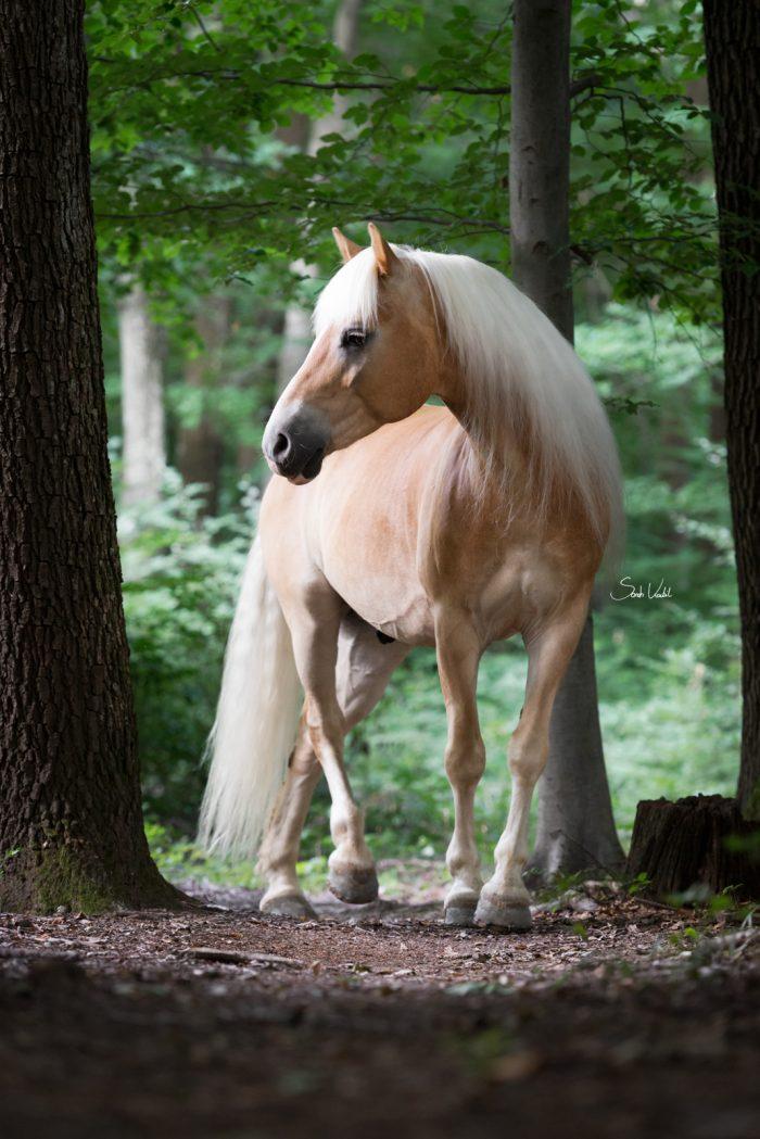 Sarah Koutnik Fotografie   Pferdefotografie   Haflinger Apollo im Wald