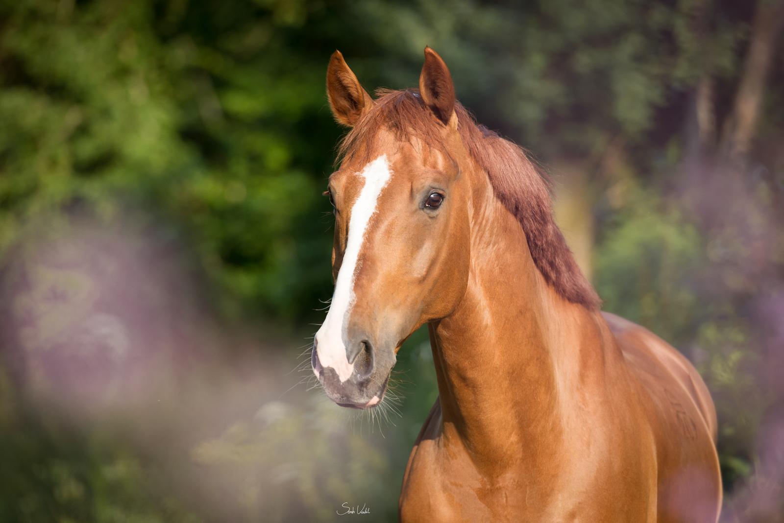 Sommerliches Pferdefotoshooting | Sarah Koutnik Fotografie | Pferdefotografie München Krailling Bayern | Fuchswallach Fippsy mit Blesse | Portrait