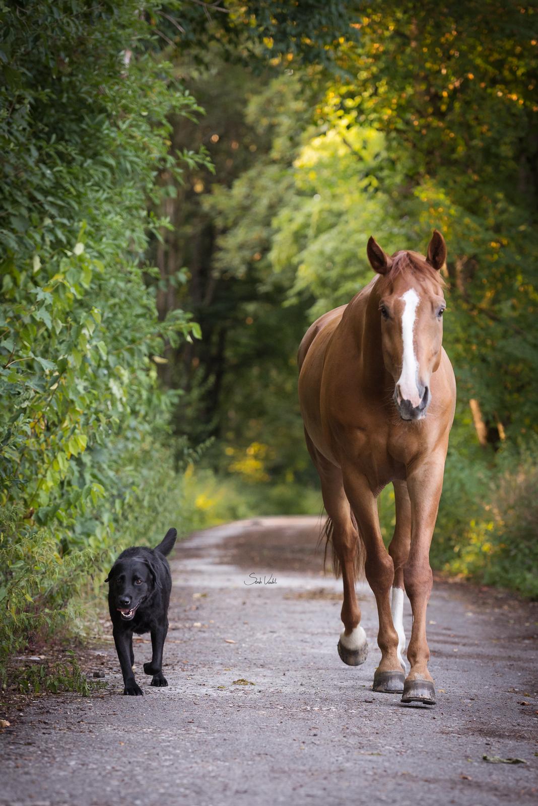 Sommerliches Pferdefotoshooting | Sarah Koutnik Fotografie | Pferdefotografie München Krailling Bayern | Fuchswallach Fippsy mit Blesse | Pferd und Hund | schwarzer Labrador| Portrait