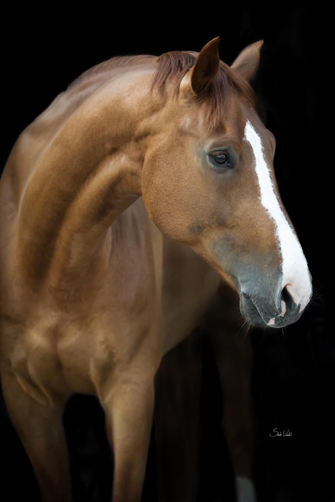 Sommerliches Pferdefotoshooting | Sarah Koutnik Fotografie | Pferdefotografie München Krailling Bayern | Fuchswallach Fippsy mit Blesse vor schwarzem Hintergrund | Portrait