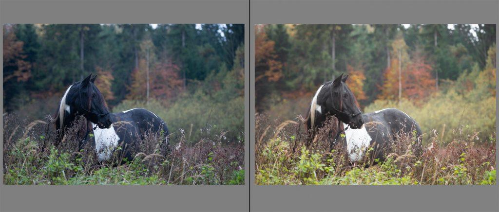 Workflow Pferdefotografie | Tinkerstute Rosy | Sarah Koutnik Fotografie | München Krailling Bayern | Vergleich Rohdatei Lightroom Entwicklung